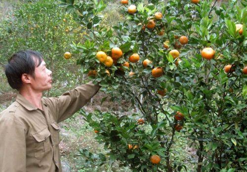Dùng phân bón Văn Điển cho cam, mía và sắn