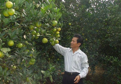 Phân bón Văn Điển cho cam Cao Phong