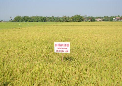 Phân bón Văn Điển nâng cao chất lượng nông sản Hà Nội