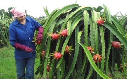 Phân lân Văn Điển đáp ứng đủ các nhu cầu dinh dưỡng cho cây thanh long.